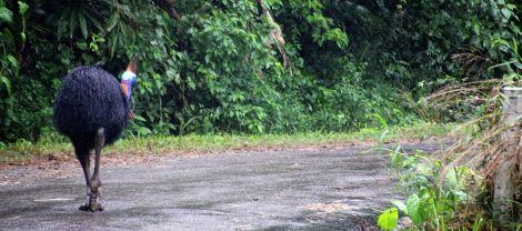 Cassowary in North Queensland