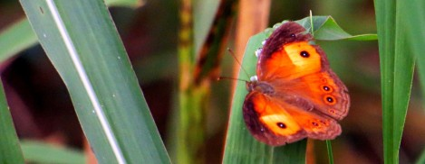 butterfly in North Queensland