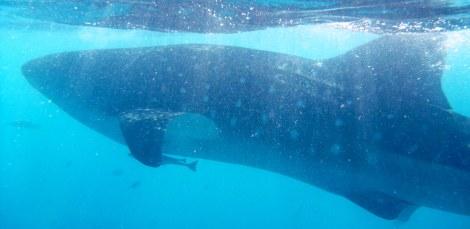 Whale Sharks, Oslob, Philippines