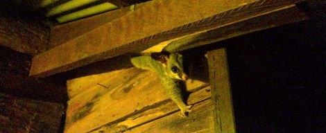 Possum, at Hidden Valley Cabins